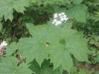 large-leaf-flower-smokies