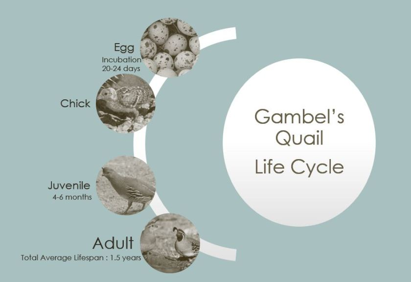 GambelQuailLifecycle