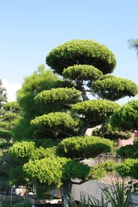 Read more about the article BONSAI AND RELATED