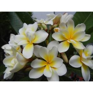 Plumeria Cutting Bali Whirl (Special price)