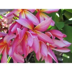 Plumeria Cutting California Sally (Special price)