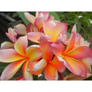 Plumeria Cutting Cooktown Sunset (Special price)