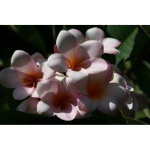 Plumeria Cutting Delfel (Special price)