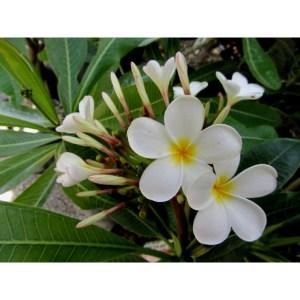 Plumeria Cutting Dwarf White Singapore