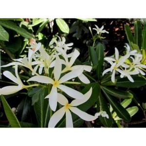"""Plumeria Cutting Singapore spp. """"Star of India"""""""