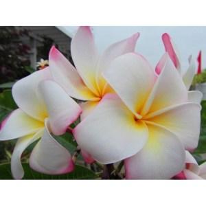 Plumeria Cutting Tropic World