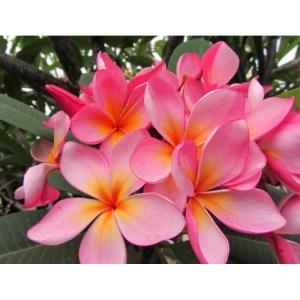 Plumeria Cutting Vijit Pink