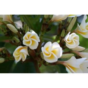 Plumeria Cutting White shell (Special price)