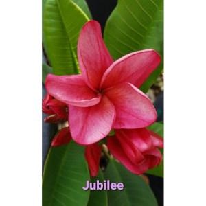 Plumeria Cutting Jubilee