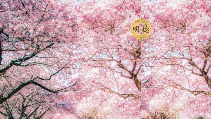 北美櫻花率先綻放,人們爭相拍照,禽鳥歡呼春天......(明德合成)
