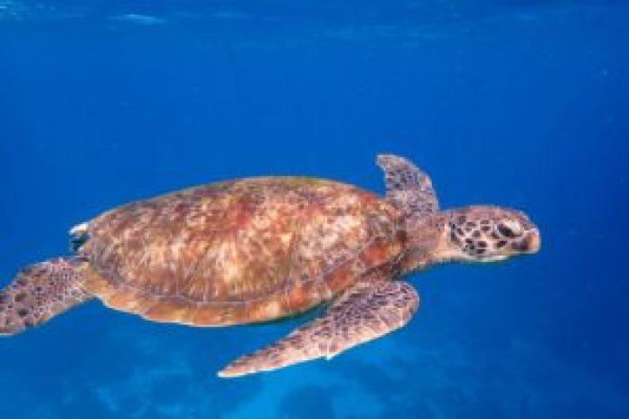 圣地亚哥湾出现了来自日本的蠵龟(pixabay)