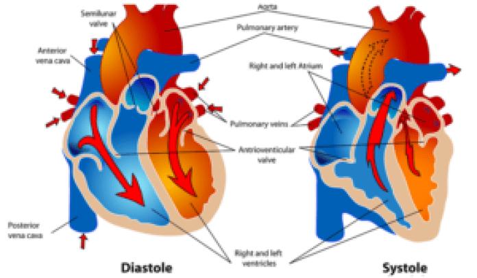心血管(pixabay)