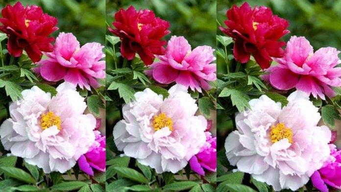 【摄影】花之美 :牡丹(明德合成)