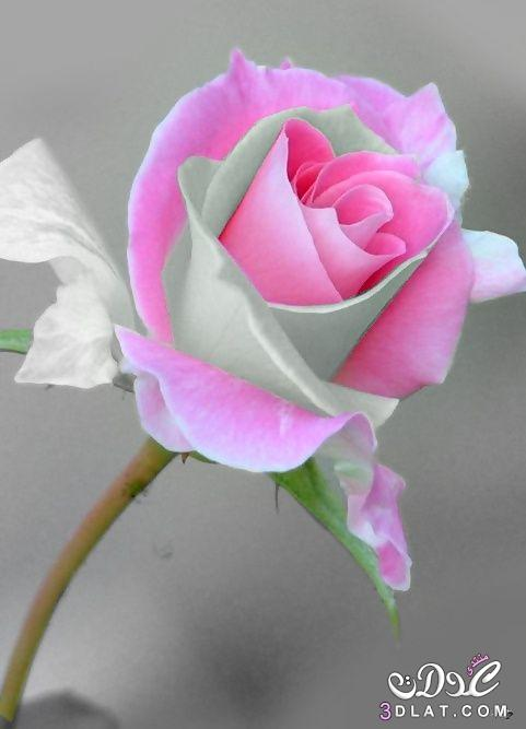 صور ورد جوري صور ورود ملونه اجمل وردة - warqaa