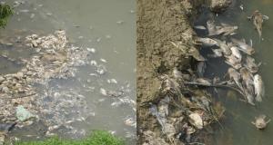 ratusan ikan mati