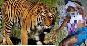 Lelaki parah dicakar harimau.