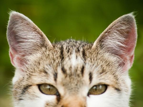 Prévention et détection des maladies d'oreille chez le chat