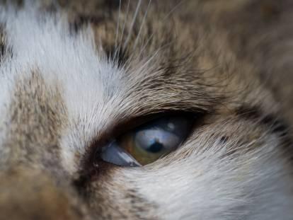 l entropion chez le chat causes