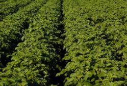 UK seed potato varieties approved for Kenya