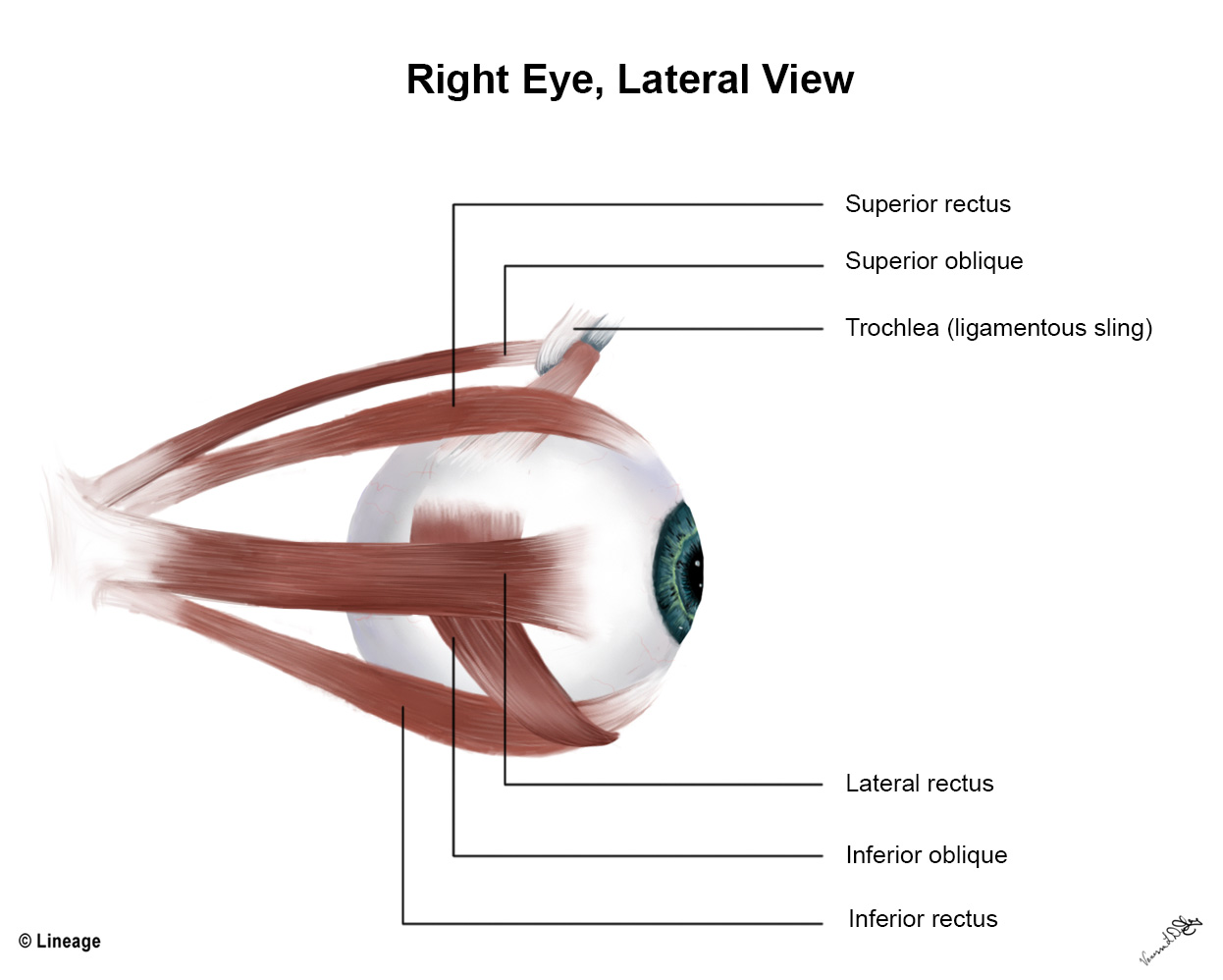Muscles Of Eye
