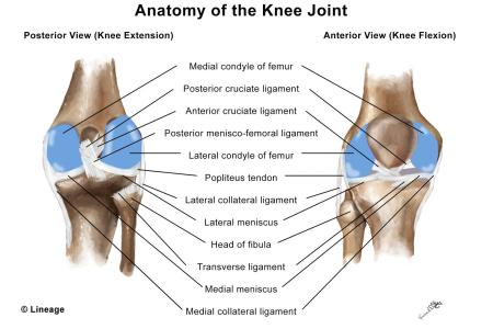 Interior Meniscus Ligament Full Hd Maps Locations Another World