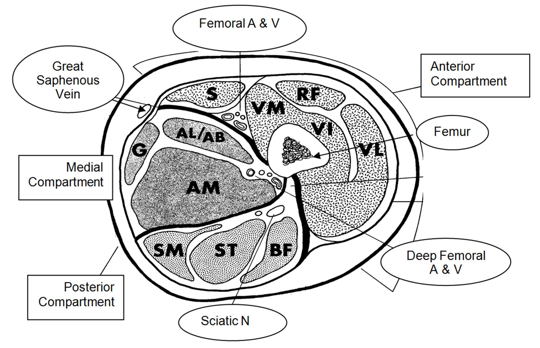 Knee Compartments Diagram