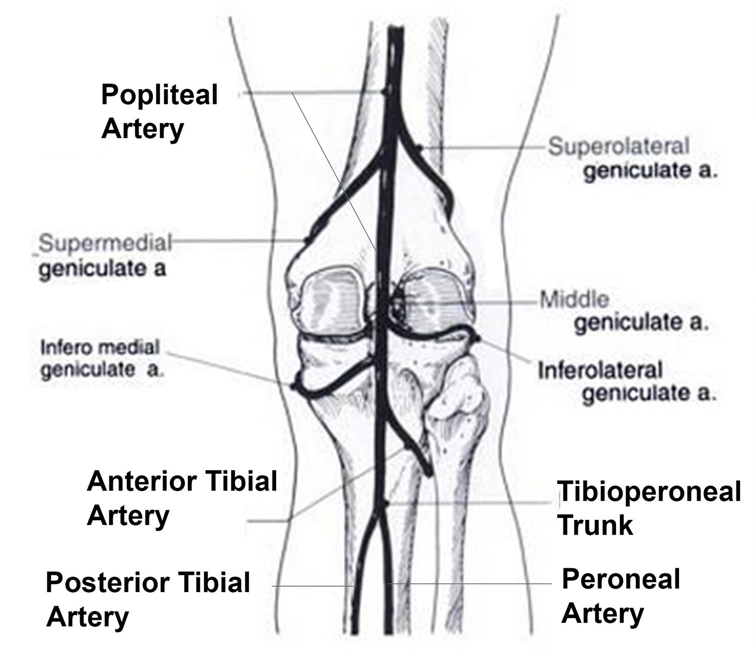 Posterior Tibial Artery Location Posterior Tibial Artery