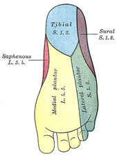Nerves of the Foot  Foot & Ankle  Orthobullets