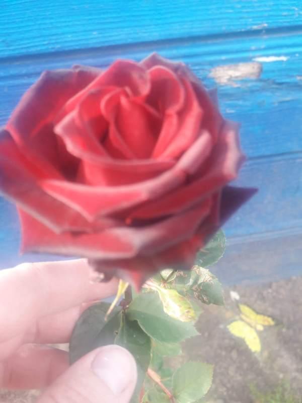 Роза Фиджи Негро — фото и описание сорта с отзывами