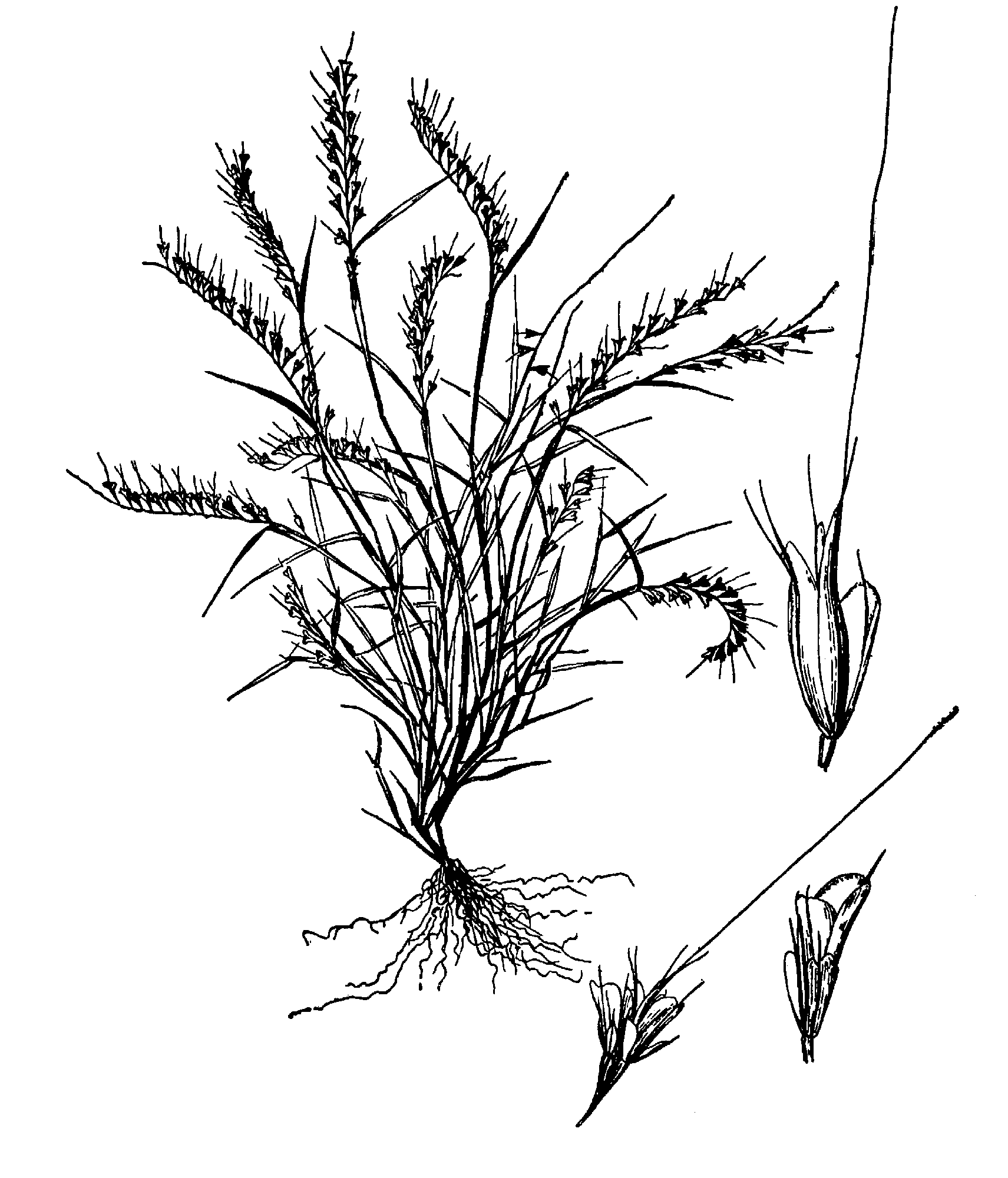 File Aegopogon Tenellus Drawing