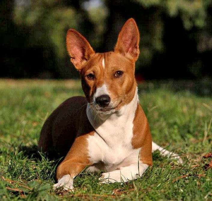 Iside Basenji Dogs That Look Similar To Pitbulls