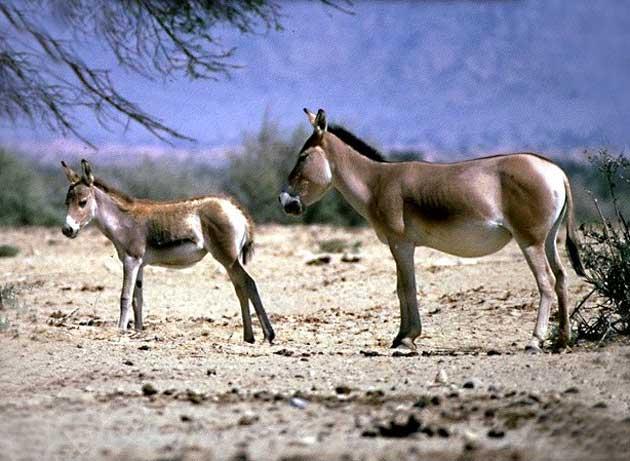 Aasianvilliaaseja, Equus Hemionus hemionus.