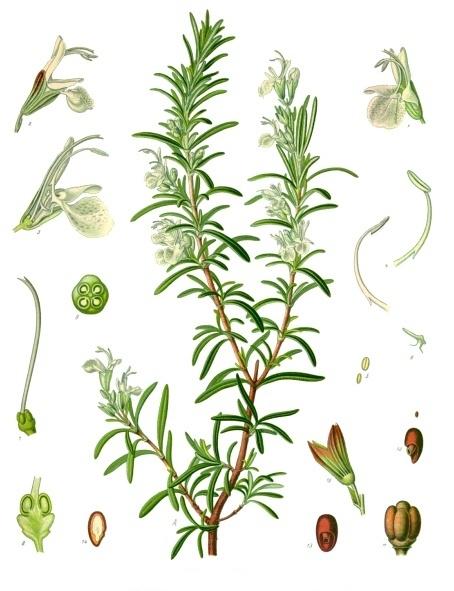 File:Rosmarinus officinalis - Köhler–s Medizinal-Pflanzen-258.jpg