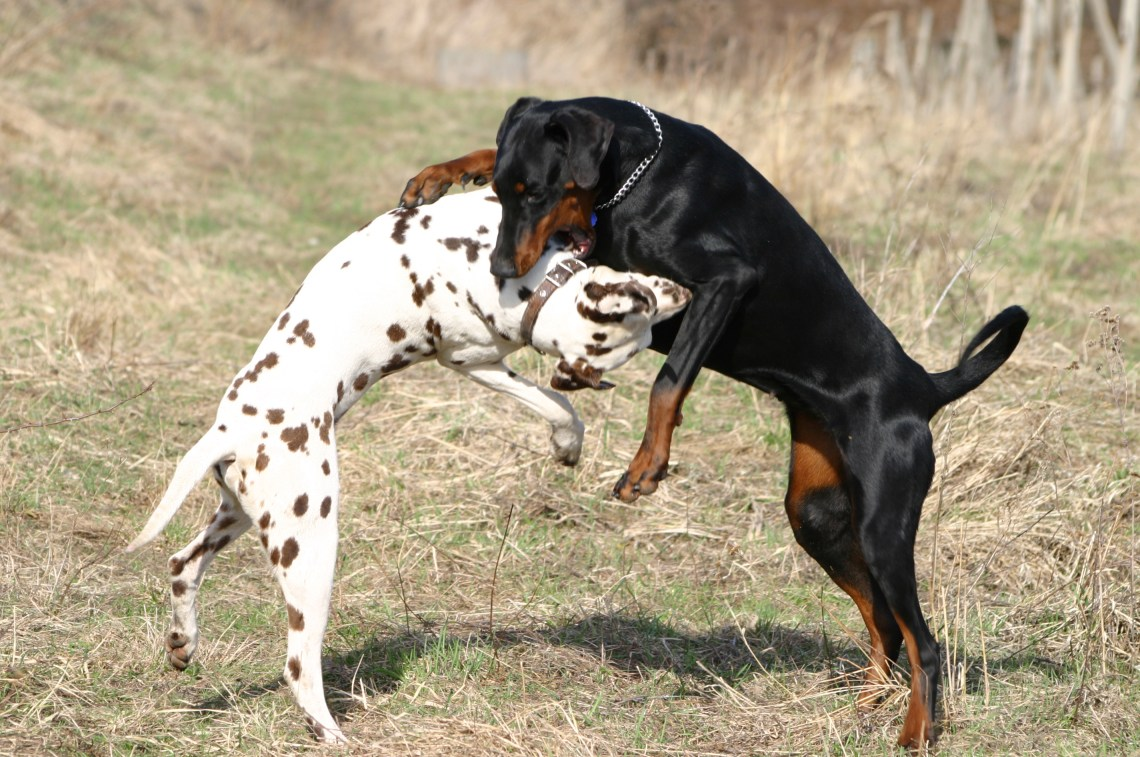 Dalmatian and Dobermann fight Pitbull Dog Aggression