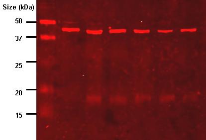 File:Anti-lipoic acid immunoblot.png