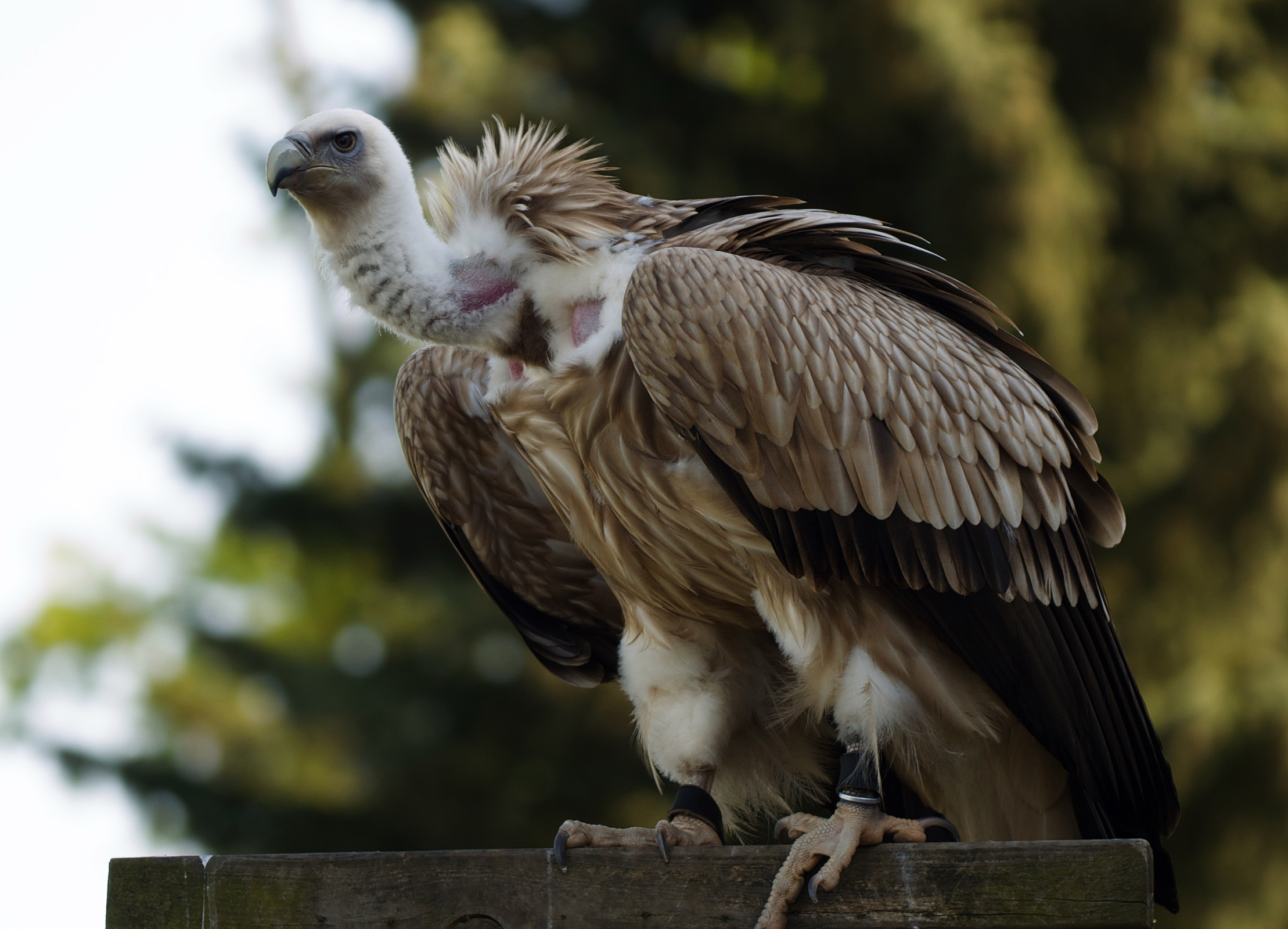 Griffon vulture. Image via Wikipedia.