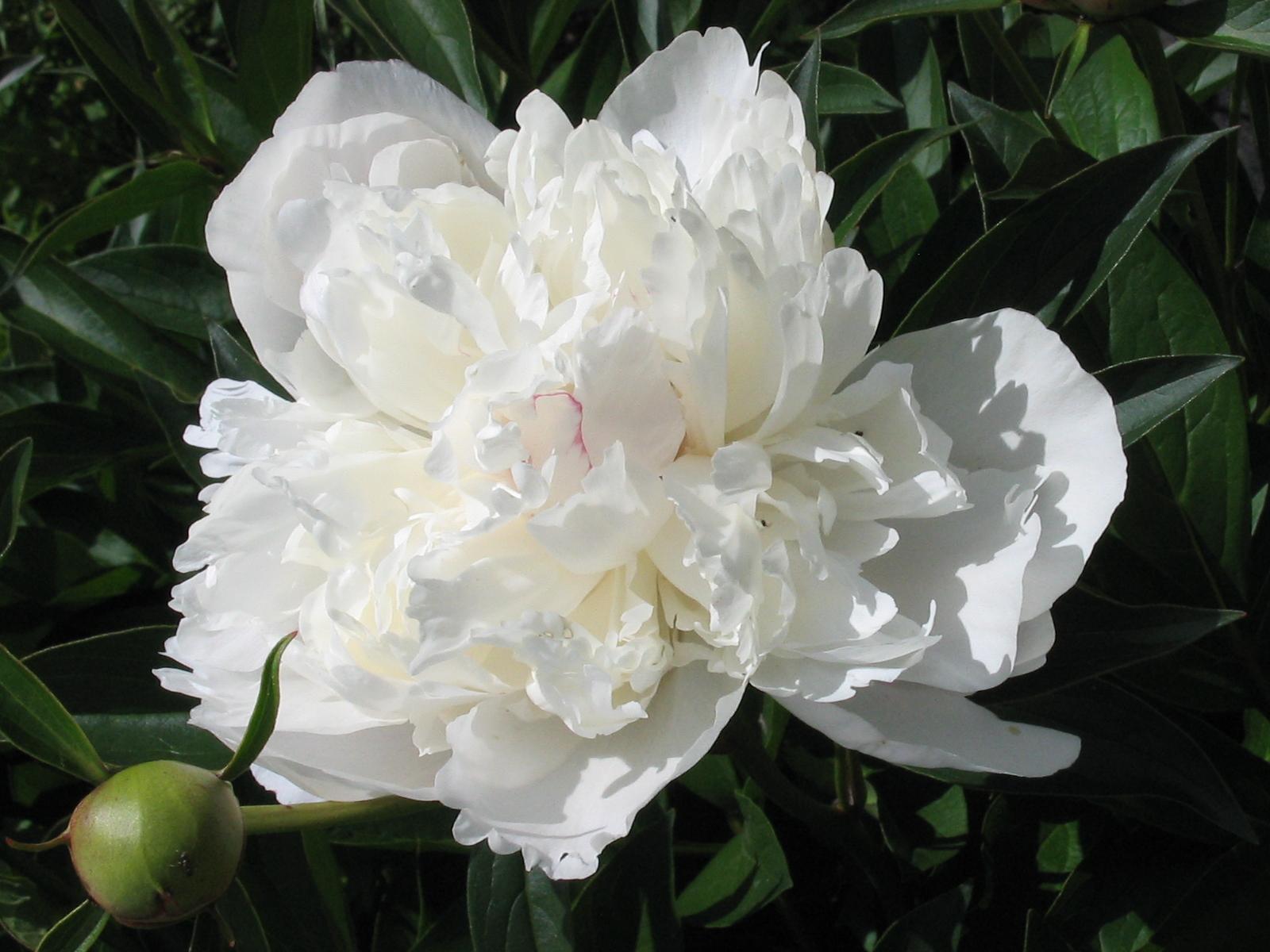 English: White peony flower Русский: Цветок бе...