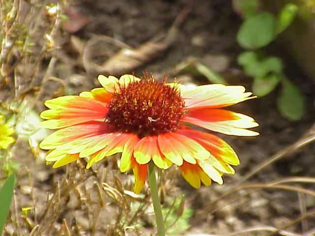 List Of Flower Names G  Common And Easy To Grow Flowers With Pictures  Gaillardia aristata0