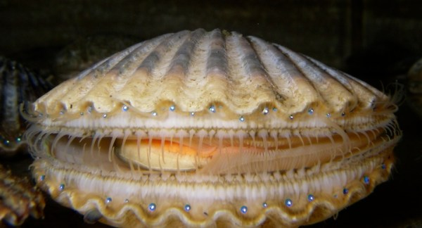 Scallop - Wikipedia