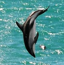 Dusky Dolphin, at Kaikoura, New Zealand. Photo...