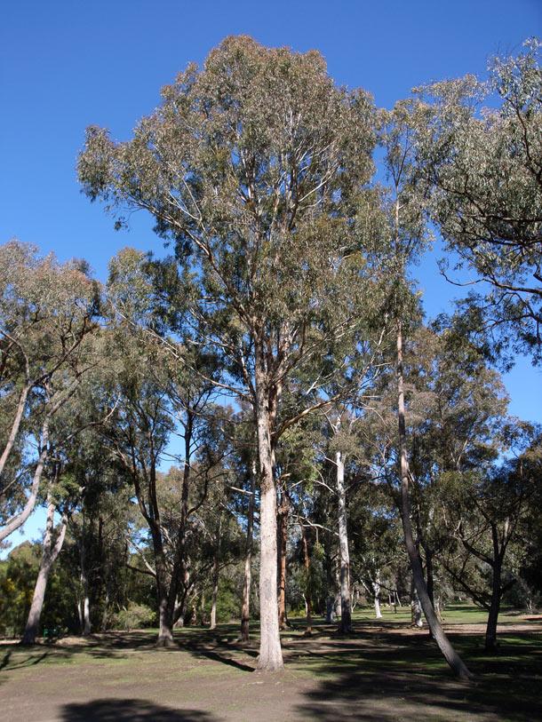 Eucalyptus Bosistoana Wikipedia