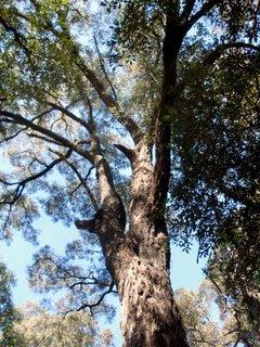 Eucalyptus Paniculata Wikispecies