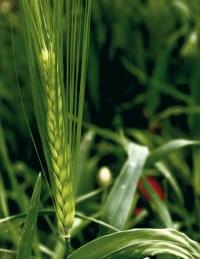 File:Les Plantes Cultivades. Cereals. Imatge 3212.jpg