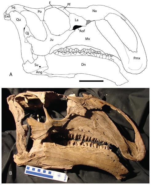 Choyrodon skull.jpg