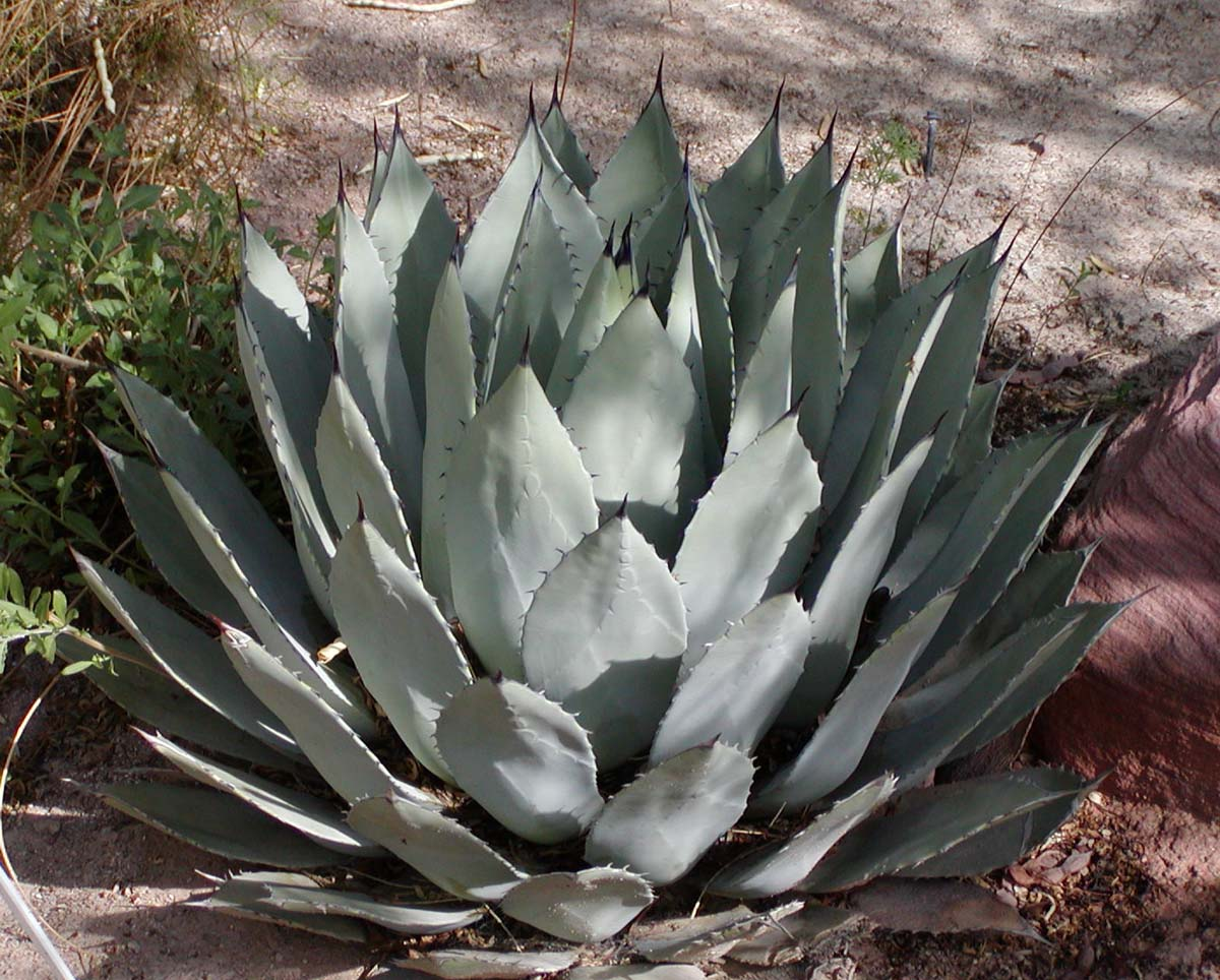 https://i1.wp.com/upload.wikimedia.org/wikipedia/commons/0/0b/Agave_palmeri.jpg