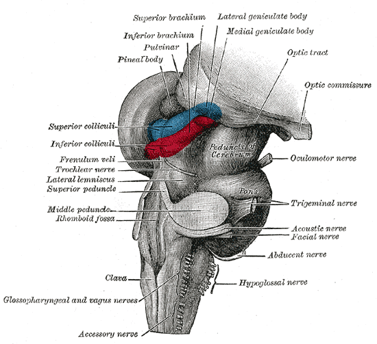 Lateral geniculate nucleus - Wikipedia