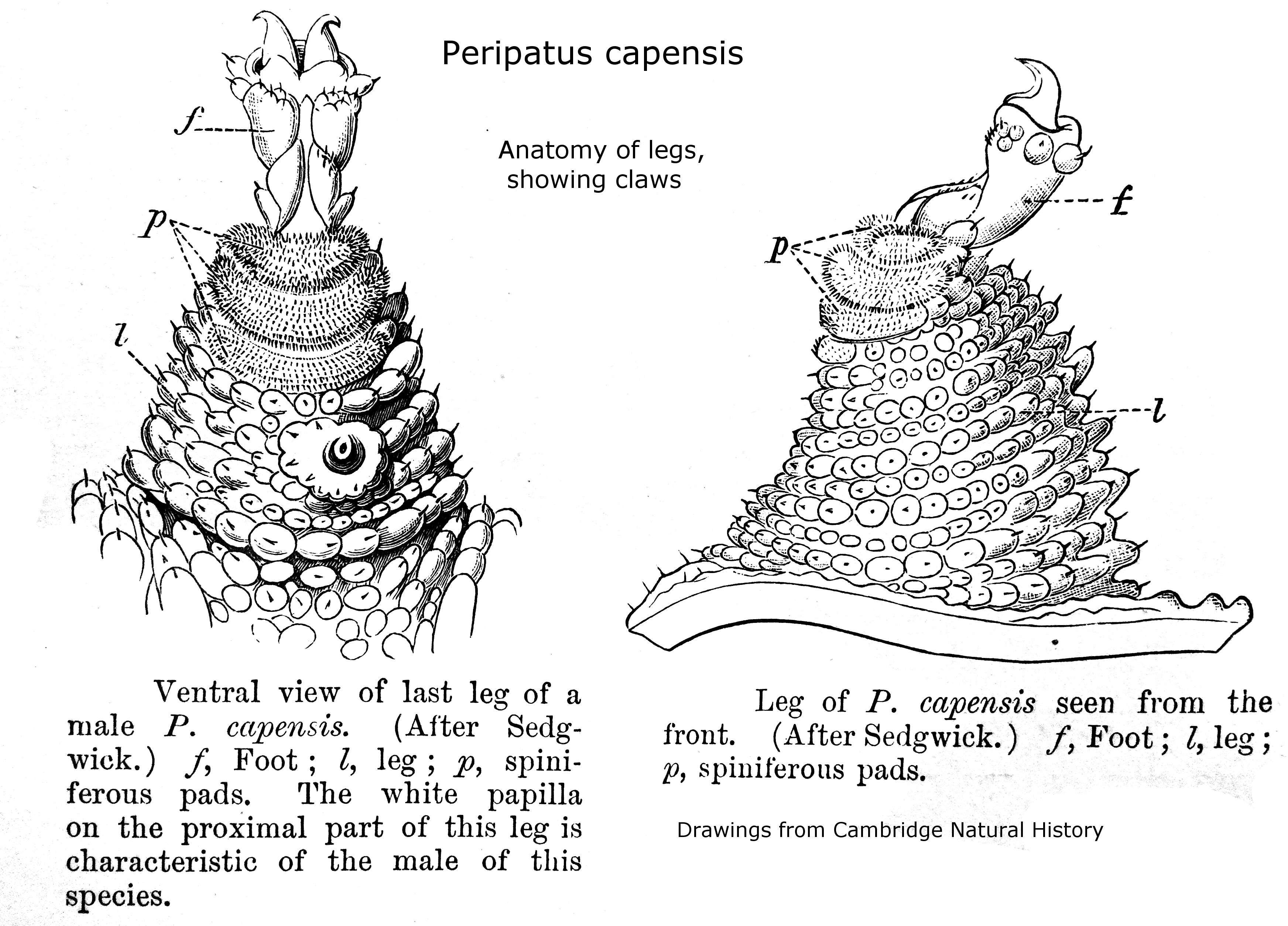 File Peripatopsis Capensis Leg Anatomy Img A