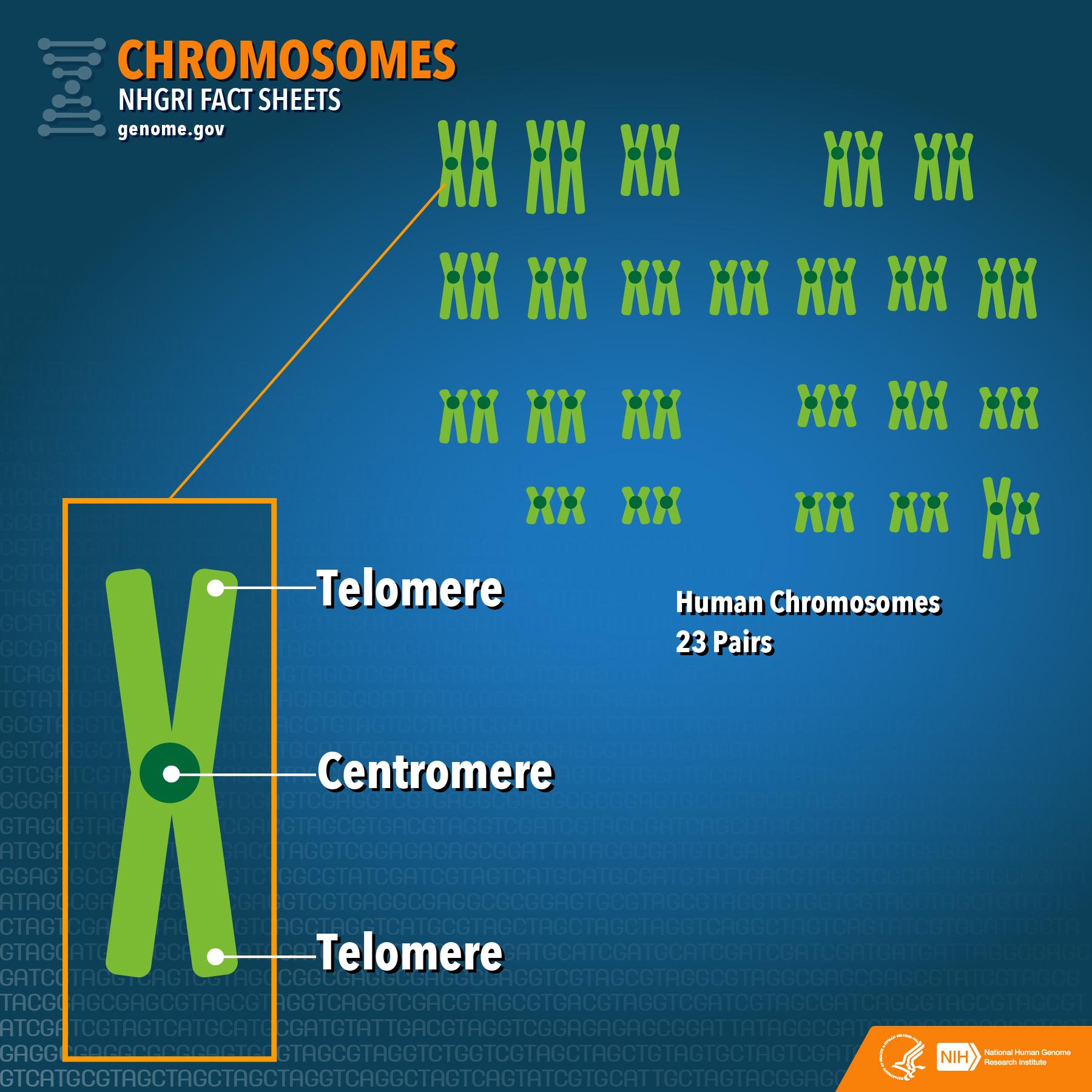 File Nhgri Fact Sheet Chromosomes