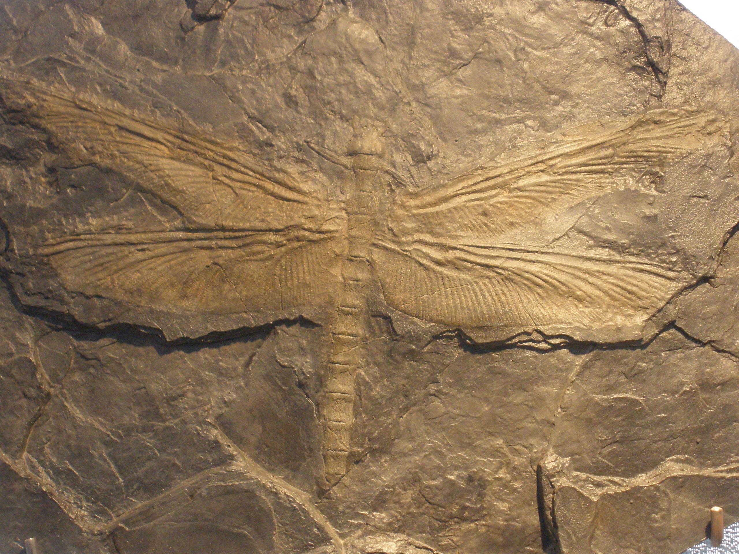 Meganeura fossil.JPG