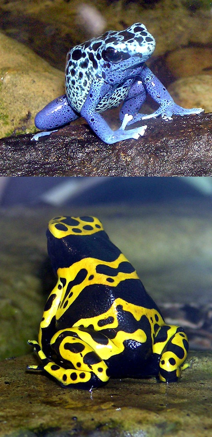 due varietà di rana freccia